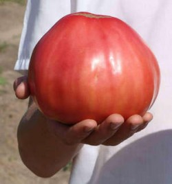 Индетерминантный томат