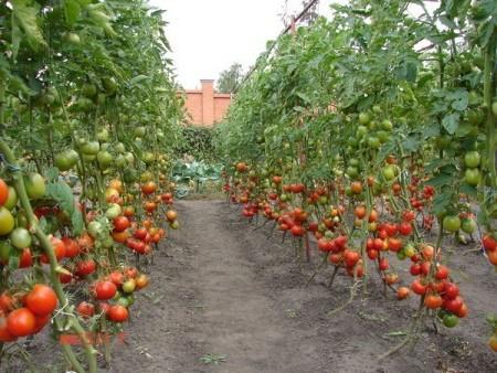 Выращивание высокорослых томатов.