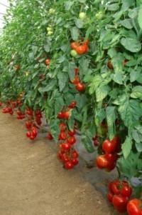 Сорта томатов для теплиц.