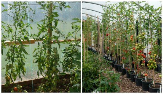 Сорта индетерминантных (высокорослых) томатов для теплиц и ОГ