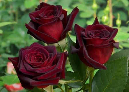 Описание видов роз