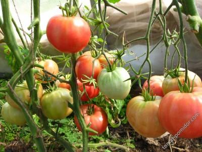 Фотографии сортовых помидоров.