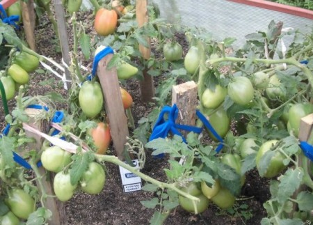 Томат петруша огородник фото куста