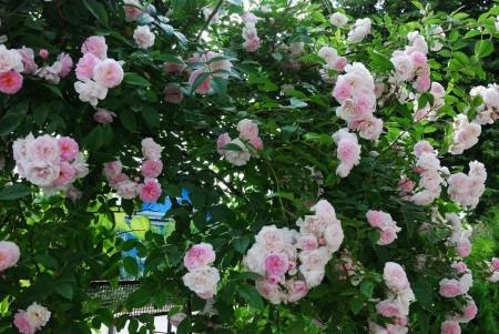 Мелкоцветковый сорт плетистых розочек.