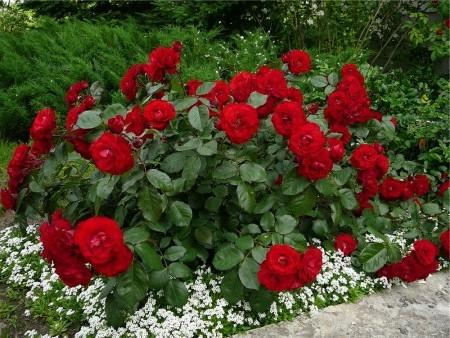 Описание Царицы цветов
