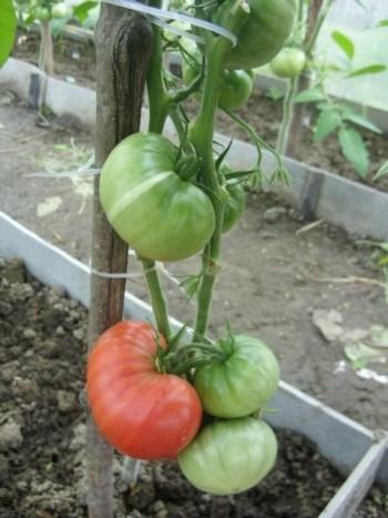 На фотографии помидоры Микадо