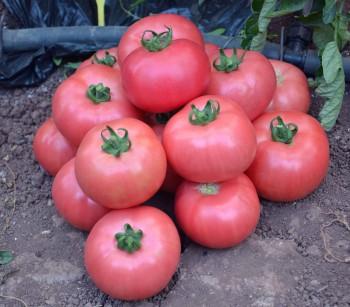Отличный урожай розовых томатов