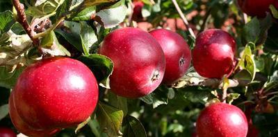 Выращиваем яблоневый сад на песчаной почве.
