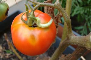 Хлопковая совка на томатах.