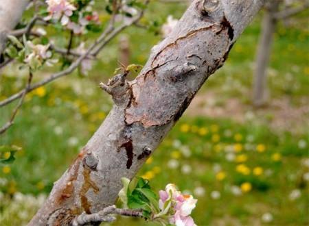 Болезни коры яблонь и других плодовых деревьев