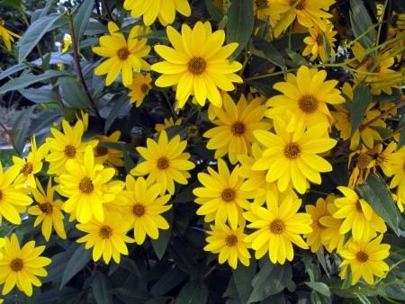 Цветет в сентябре гелиопсис