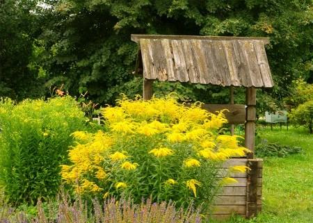 Сентябрьский цветок золотарник.