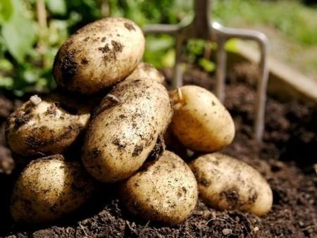 Чем удобрить картофель