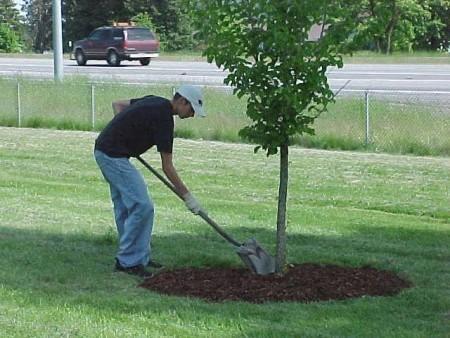 Как обрабатывать приствольные круги плодовых деревьев.