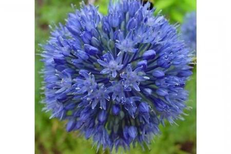 Лук голубой посадка и выращивание