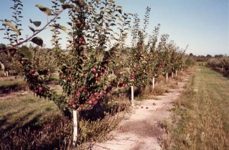 Как выращивать яблони на песке.