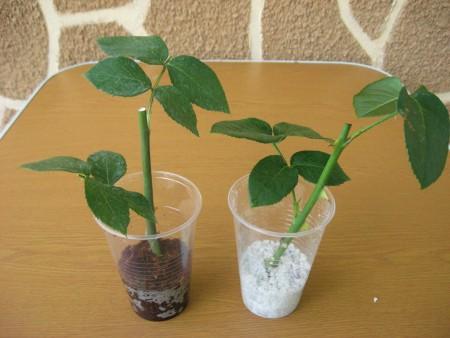 Выращивание роз из букета зимой.