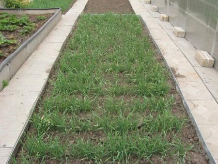 Удобрение огорода рожью.