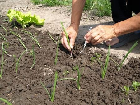 Рассадным способом выращивают луковицы за одно лето.