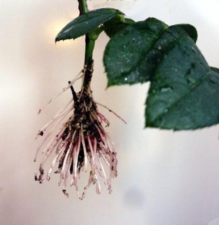 Черенкование роз зимой