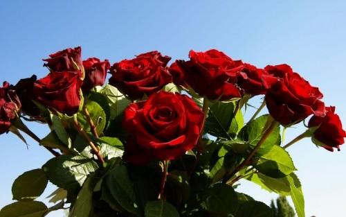 Как вырастить розы из букета.