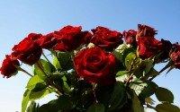 Учимся выращивать розы из подаренного букета.