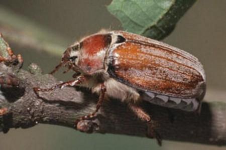 Борьба с майскими жуками