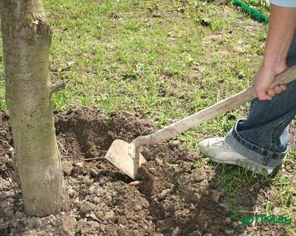 Весенняя подкормка садовых деревьев