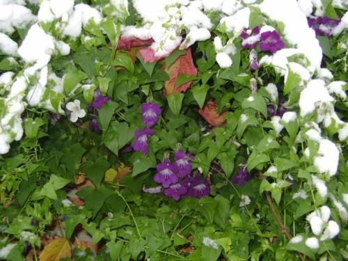 Как выращивать азарину