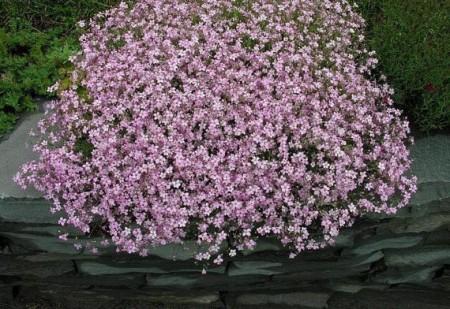 Цветет гипсофила.