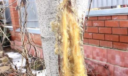 Январская морозобоина на дереве
