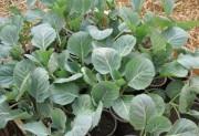 Посев капусты на рассаду.