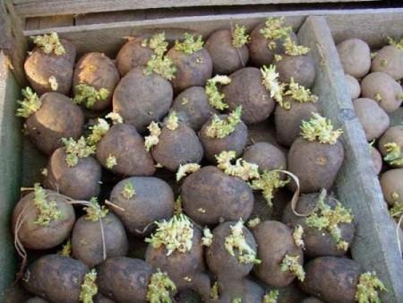 Когда сажать картошку в Подмосковье - далеко не последний 41