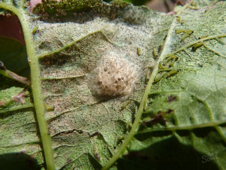 Какие меры принимают для уничтожения гусениц.
