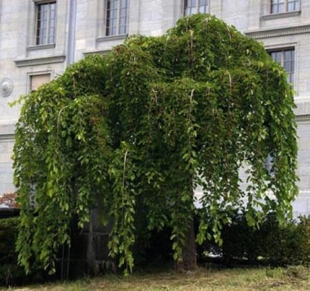 Дерево шелковицы плакучей.
