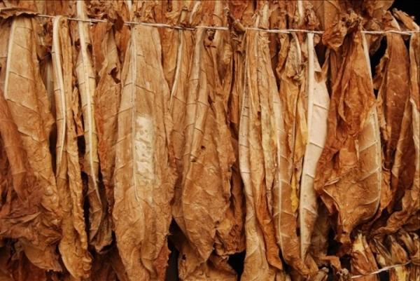 Как сушат табачные листья.