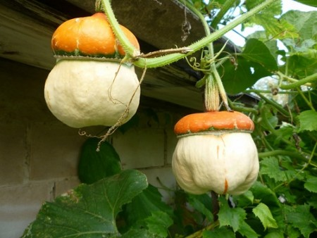 Выращивание декоративных тыкв.