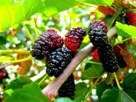 Шелковица: выращивание и размножение