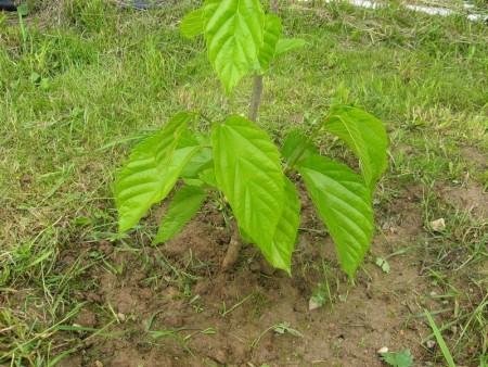 Выращивание саженцев тутовника.