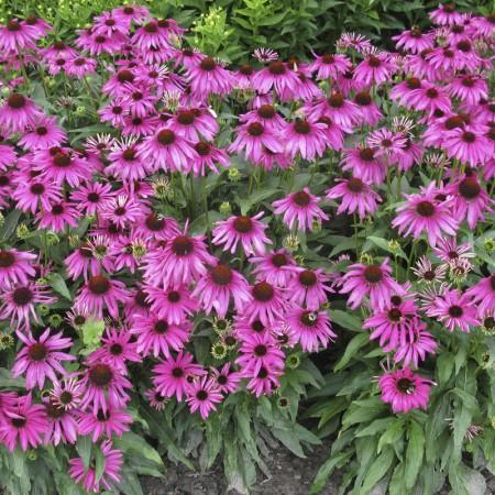 Эхинацея — что это за цветок?