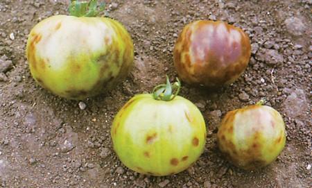 Вирусные заболевания на томатах