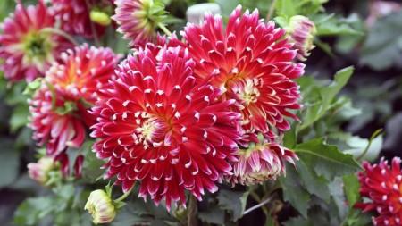 Цветут георгины в саду