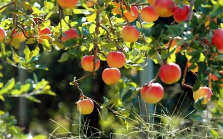 Календарь садовода. Что делать с яблонями в августе.