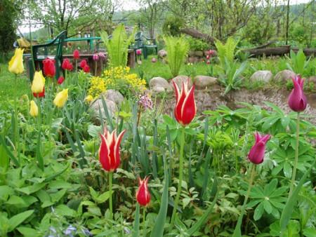 Тюльпаны в саду.