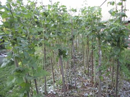 Что делать с малиной после сбора урожая.