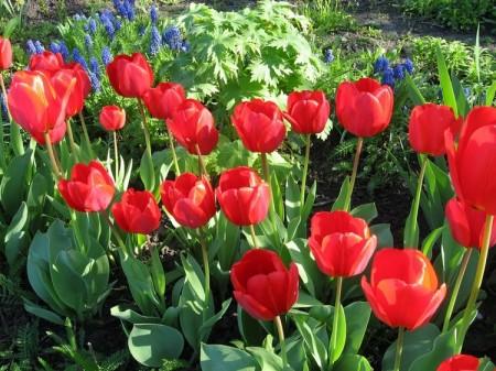 В октябре высаживаем луковицы тюльпанов.