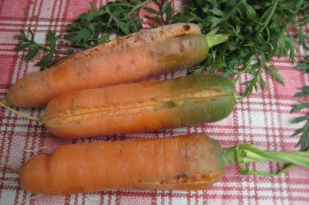 Почему трескается морковь.