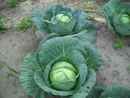 В октябре убираем капусту с огорода.