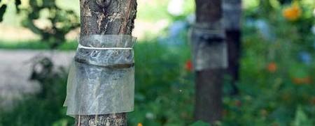 В сентябре делаем и ставим ловчие пояса на деревья.