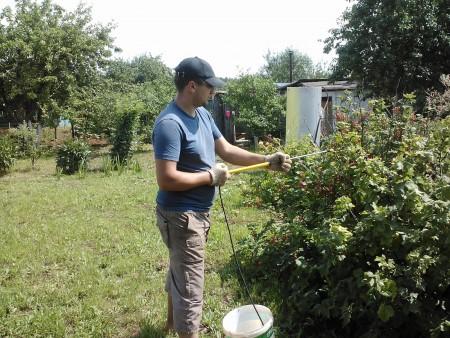 В начале лета обработайте смородину от вредителей.